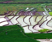 East Java Rice Fields