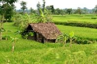 East Java Rice Fields