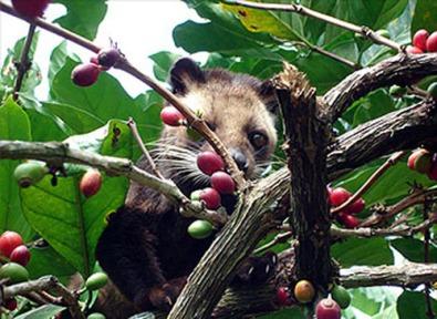Luwak Civet