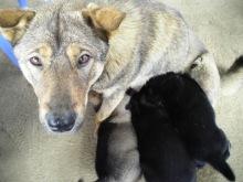 Sapa Pups