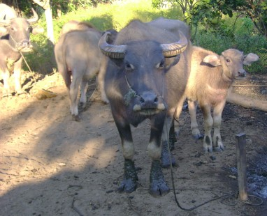 Water Buffalo Stare Down