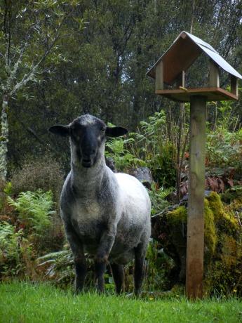 Sheep at Mt Taranaki