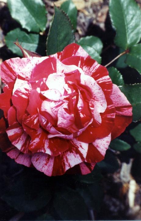 Mums Roses