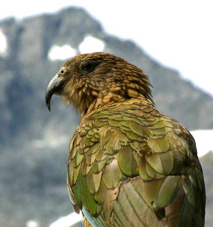 Kea And Mountain