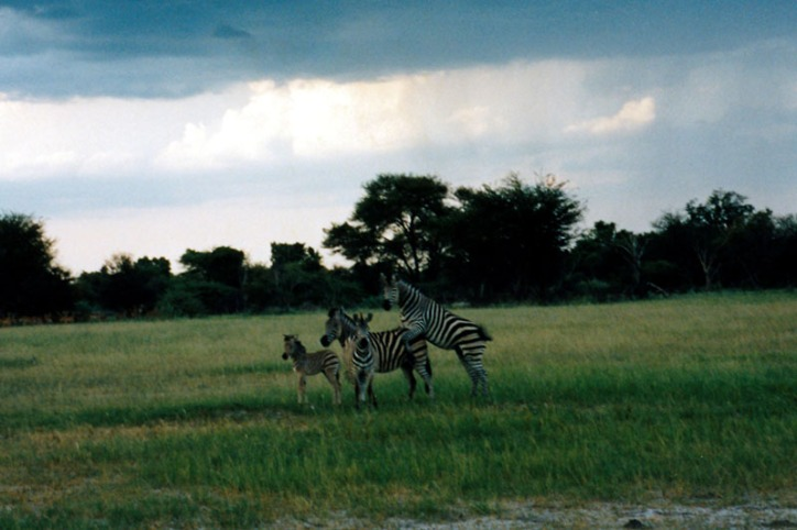 Zebra's making Zebra's