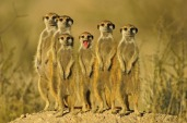 Meercats on Duty