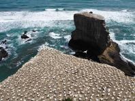 West Coast Gannets