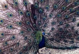 Rotorua Peacock