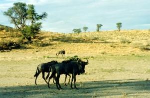 Kalahari Wildebeest 3