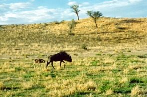 Wildebeest and Child