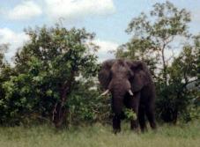 Kruger Bull Elephant