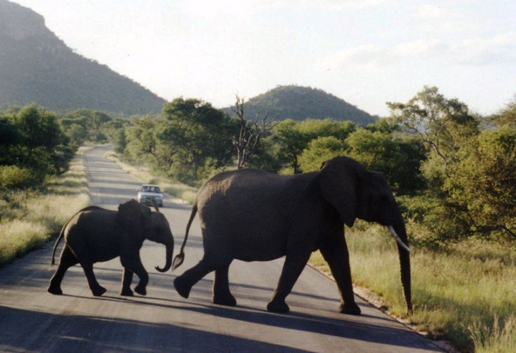 Kruger Elephant and Calf
