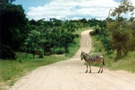 Kruger Zebra on Road