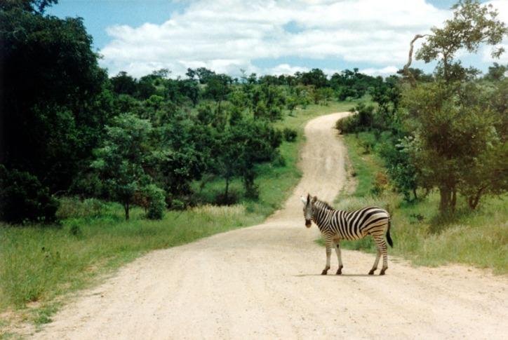 Kruger Zebra on Road
