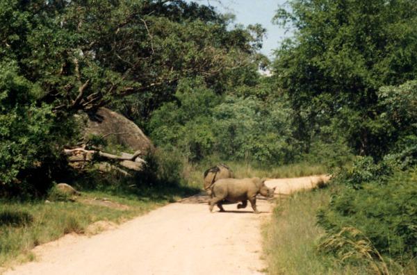 Kruger Rhino