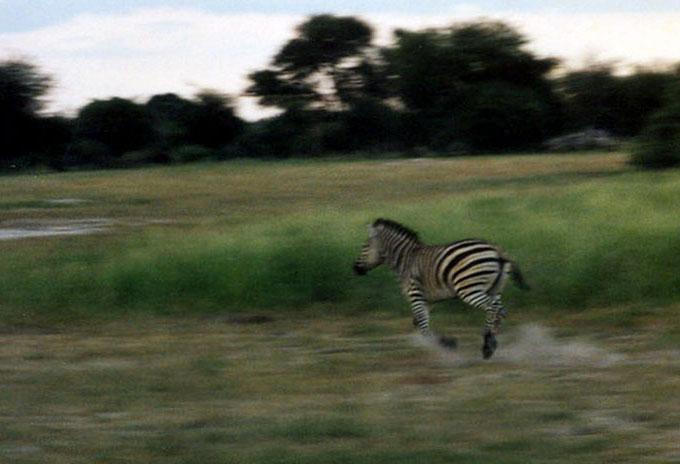 Spooked Zebra