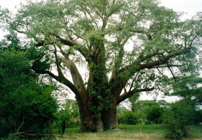 Dr Livingstone's Tree